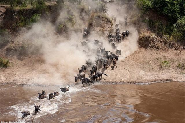Cận cảnh màn vượt sông cực kỳ ấn tượng của ngựa vằn và linh dương đầu bò