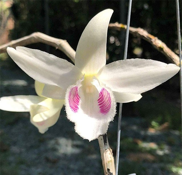 Loài hoa lan đại gia Hòa Bình sẵn sàng chi 2,7 tỷ để mua đẹp và độc cỡ nào?