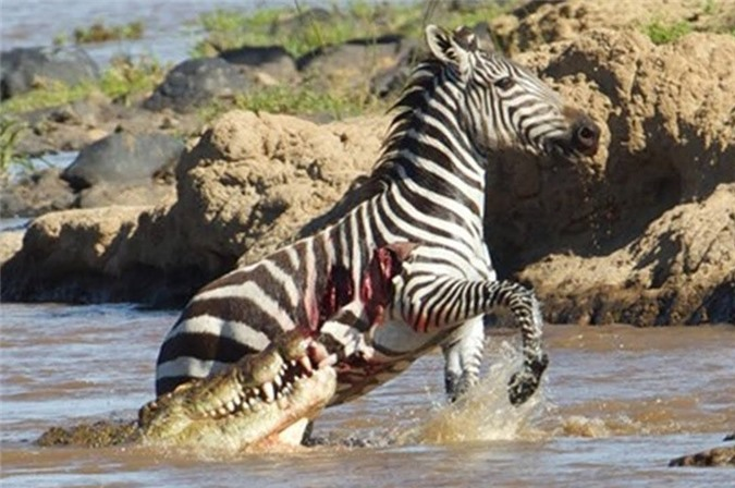 Vượt sông, ngựa vằn bị cá sấu sát hại dã man
