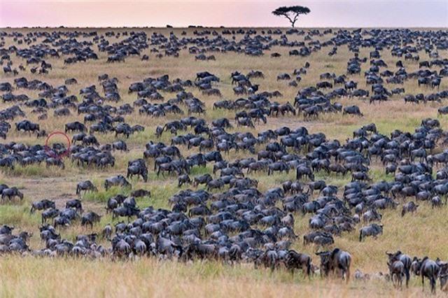 Ngựa vằn 'tàng hình' giữa hàng nghìn con linh dương đầu bò