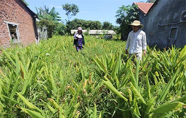 Hơn 100 tấn nghệ 'ế' người mua ở Quảng Nam