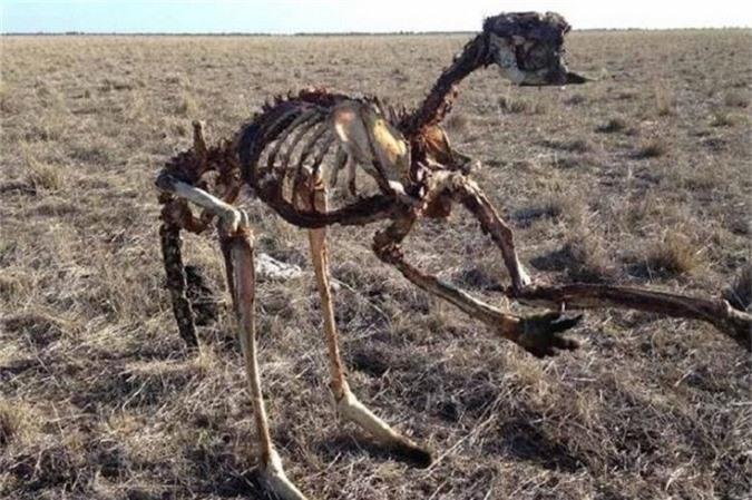 Bộ xương khô khốc của một con kangaroo được tìm thấy trên thảm cỏ khô ở trung tâm Riverina.