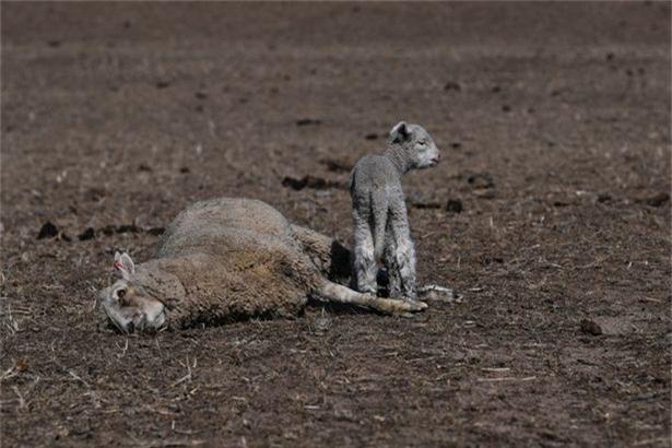 Một con cừu con đứng bên cạnh xác chết của mẹ nó tại trang trại Billaglen.