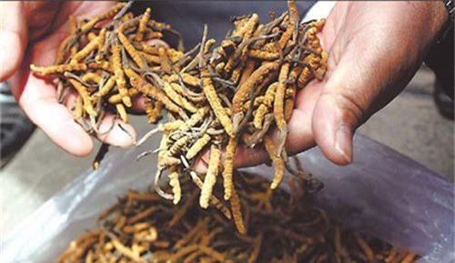 Đông trùng hạ thảo Tây Tạng có giá lên tới 2,2 tỷ đồng
