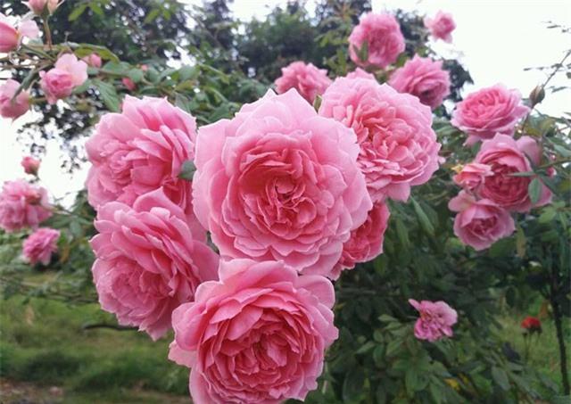 Phát hờn với vườn hoa hồng vạn gốc đẹp-độc-hiếm của đại gia Thái Nguyên