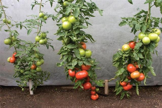 Hướng dẫn trồng cà chua trong thùng xốp cho quả sai trĩu trịt