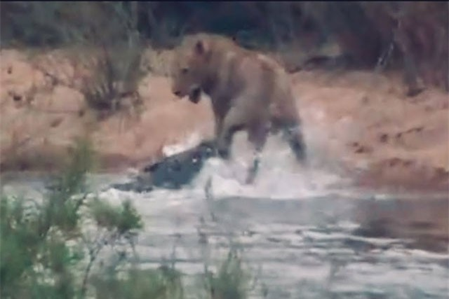 Clip: Quá 'ngông cuồng', sư tử suýt chết dưới hàm cá sấu