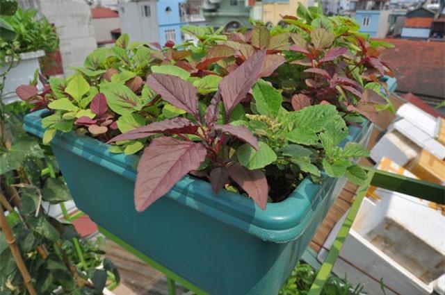 Kỹ thuật trồng rau dền trong thùng xốp dễ như trở bàn tay