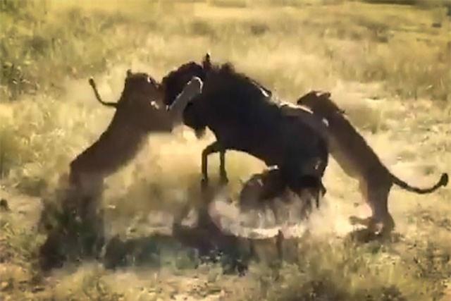 Clip: Linh dương đầu bò 'húc bay' 8 con sư tử