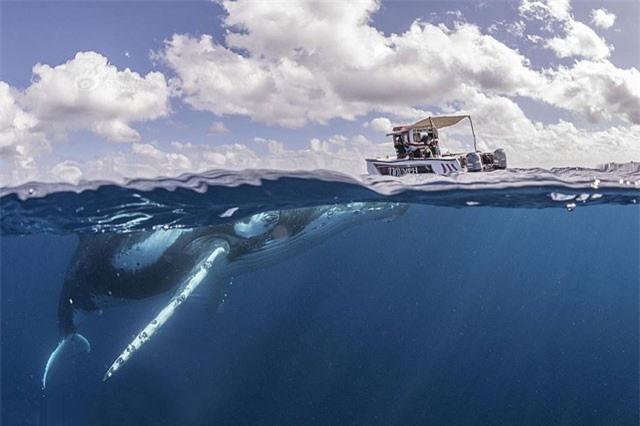Thuyền nhỏ bé đối đầu cá voi lưng gù như phim kinh dị