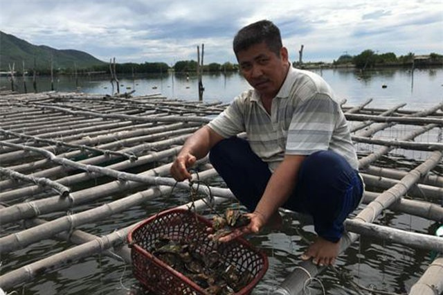 """Khánh Hòa: Nuôi hàu trên dây, """"đút túi"""" cả trăm triệu đồng/năm"""