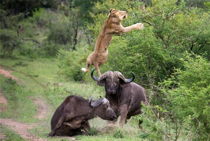 Clip: Trâu rừng húc sư tử trọng thương, giải cứu đồng loại