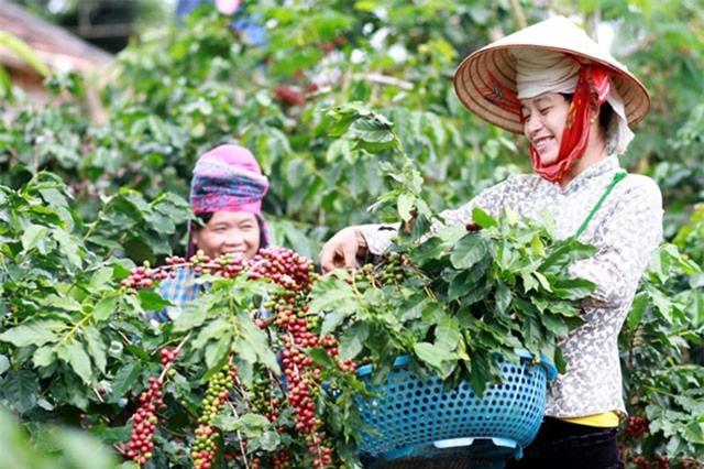 BẢN TIN TÀI CHÍNH-KINH DOANH: Nông dân Sa Pa thành tỷ phú nhờ hoa ly, nghịch lý khó tin của cà phê Việt