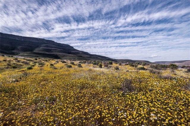 Ngẩn ngơ trước cảnh biển hoa phủ kín hoang mạc ở Nam Phi