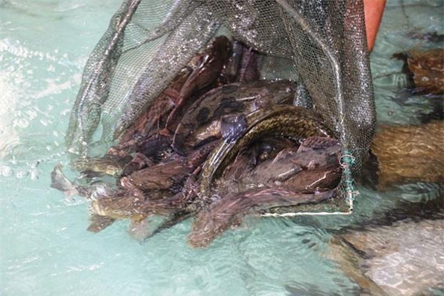 """Làm giàu ở nông thôn: Đổi đời nhờ nuôi 2 loài cá """"khôn ăn, ở sạch"""""""