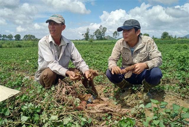 Phú Yên: Lừa dân trồng khoai lang Nhật, cầm khoai đi mất hút