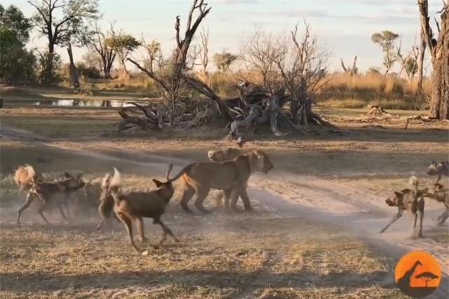 Clip: 'Hồi hộp' chứng kiến màn cứu con khỏi bầy chó hoang của sư tử cái