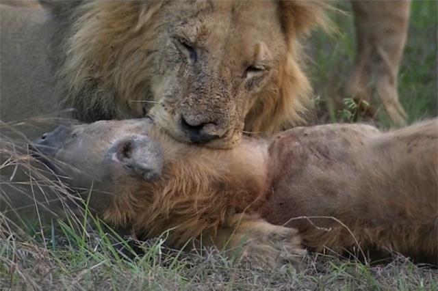 Clip: Cuộc chiến không hồi kết giữa sư tử và linh cẩu