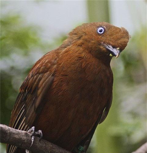 Loai chim duoc chon la quoc dieu cua Peru co gi dac biet?-Hinh-4