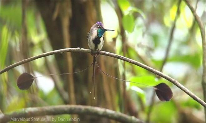 Nhung loai chim co long duoi dep tuyet my nhat tran gian-Hinh-2