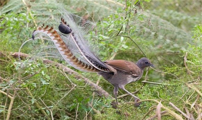 Nhung loai chim co long duoi dep tuyet my nhat tran gian-Hinh-6