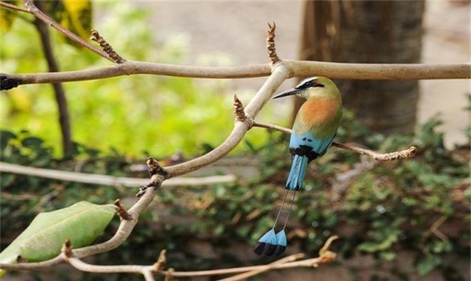 Nhung loai chim co long duoi dep tuyet my nhat tran gian-Hinh-7