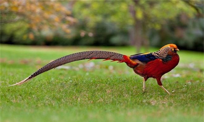 Nhung loai chim co long duoi dep tuyet my nhat tran gian-Hinh-8