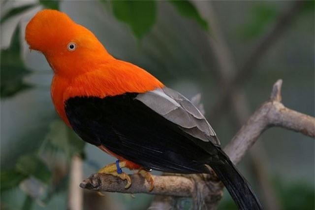 Loài chim được chọn là quốc điểu của Peru có gì đặc biệt?