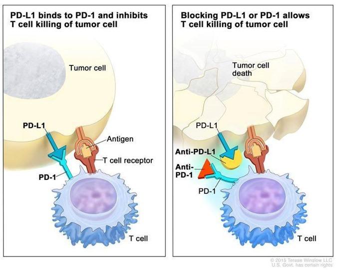 """Tế bào miễn dịch (T cell) nhận """"hối lộ"""" qua cặp tín hiệu PD-1 và PD-L1, im re """"công nhận"""" tế bào ung thư là """"người nhà"""" . Thuốc kháng PD-1 hoặc PD-L1 làm hệ miễn dịch nhận ra kẻ địch và vùng lên chiến đấu."""