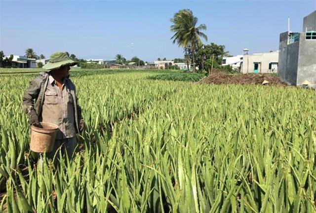 """Làm giàu ở nông thôn: Dân ở đây đổi đời nhờ cây """"ưa nắng, ngại mưa"""""""