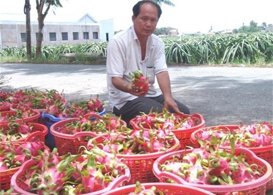"""trung quoc ngung """"an"""" hang, thanh long sach van ban duoc 25.000d/kg hinh anh 2"""