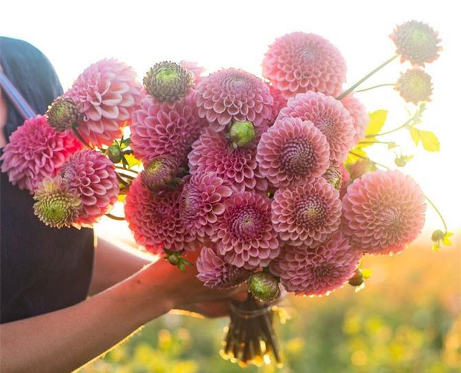 Loài hoa này được trồng khá phổ biến ở Việt Nam.
