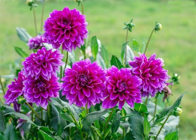 Loài hoa này có nguồn gốc từ Mexico và nó cũng là quốc hoa của đất nước này.