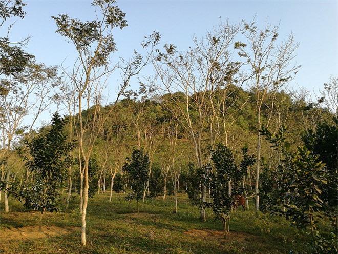 Vườn sưa hơn 2.000 cây của ông Thắng dưới chân thung lũng ở Tuyên Quang.