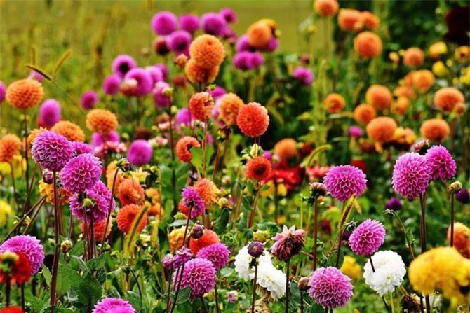 Theo lưu truyền, loại hoa này được Thần y Hoa Đà sử dụng làm thuốc giảm đau, cầm máu, chữa băng huyết…