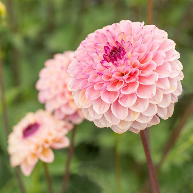 Tên gọi Dahlia được đặt theo tên của một nhà thực vật học người Thụy Điển thế kỷ 18 là Anders Dahl.