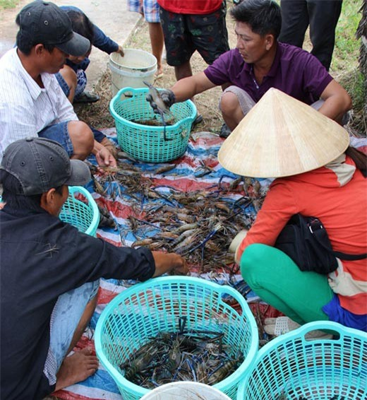 Nông dân huyện Thới Bình (Cà Mau), trúng đậm tôm càng xanh trái vụ.