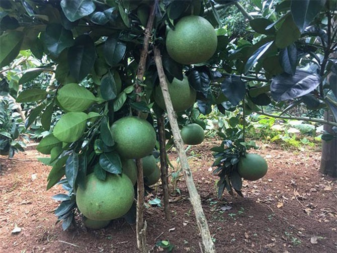 Anh Mạnh vui mừng khi vườn bưởi da xanh ít bị dịch bệnh và cho quả đầy cành.