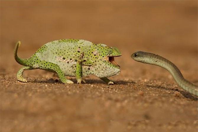 Tắc kè hoa đối đầu với rắn Mamba đen. Ảnh cắt từ clip.