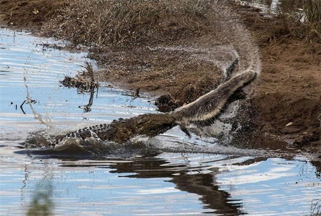 Cá sấu khổng lồ 'bất lực' trong việc xé xác lửng mật nhỏ xíu