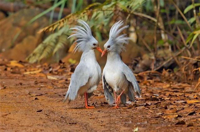 """Ngắm quả đầu siêu """"độc"""" của loài chim nằm trong sách Đỏ"""