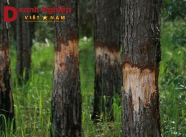 """Nhiều cây thông ở Lâm Đồng bị """"giết chết"""" bởi thủ đoạn ken cây, đổ hoá chất (Ảnh: VH)"""