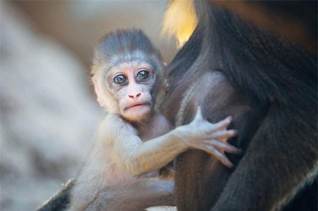 """Khoảnh khắc """"công chúa"""" khỉ làm nũng mẹ siêu đáng yêu"""