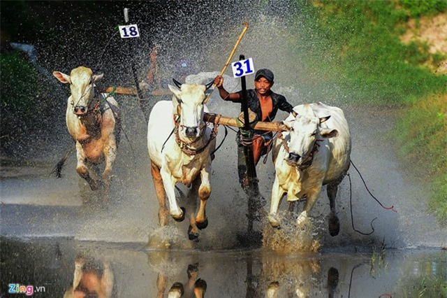 Những pha đua bò quyết liệt trên vũng lầy ở miền Tây