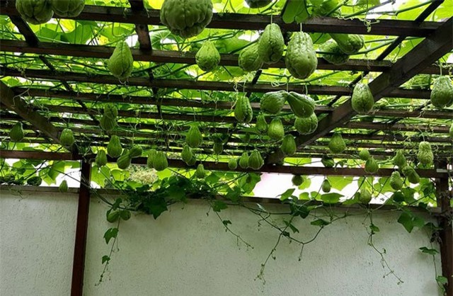 Cách trồng su su đơn giản cho năng suất cao tại nhà