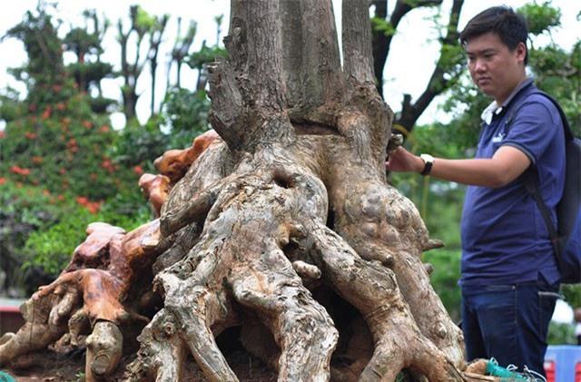 Gốc vú sữa kỳ quái giá 120 triệu ở hội thi bonsai