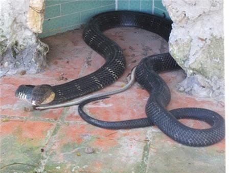 Một con rắn hổ chúa 10 tuổi, nặng 12kg, dài hơn 4m tại trại rắn Đồng Tâm. Ảnh: Ngọc Thụ