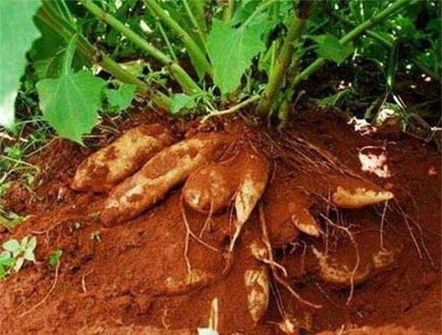 Cứ đến cuối tháng 10, đầu tháng 11 là người dân bắt đầu thu hoạch loại Sâm khoai này.