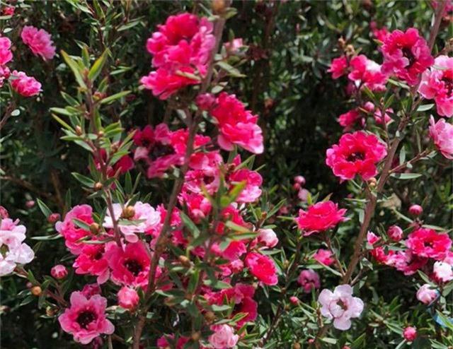 Tùng tuyết mai - loại cây hoa đang gây sốt trên thị trường, được mọi người săn tìm mua về trồng