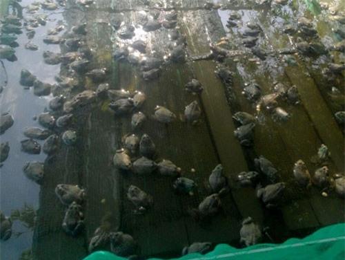 An Giang: Lai rai kiếm tiền tiêu nhờ làm vèo nuôi ếch trên sông